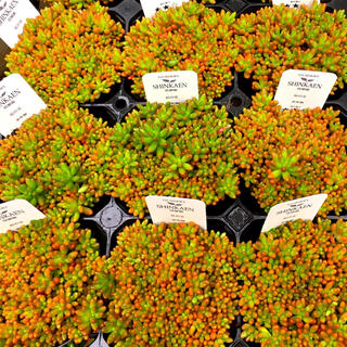 【NJ i2-9】セダム 虹の玉 2.5号ポット 抜き苗 多肉植物