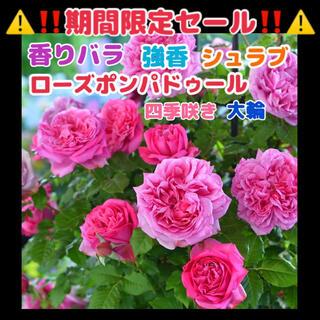 薔薇★ローズポンパドゥール★ピンク★挿し木苗★薔薇苗★四季咲き★バラ★香りバラ(その他)