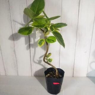 ②フィカスアルテシーマ曲がり‼️人気観葉植物❗️(プランター)