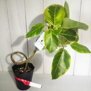 ③フィカスアルテシーマ曲がり‼️人気観葉植物❗️(プランター)