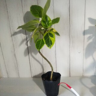 ④フィカスアルテシーマ曲がり‼️人気観葉植物❗️(プランター)