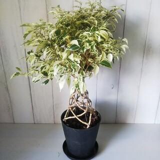 ①ベンジャミナスターライトあんどん仕立て❗️珍しい樹形観葉植物‼️受皿付!(プランター)