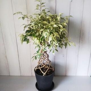 ②ベンジャミナスターライトあんどん仕立て❗️珍しい樹形観葉植物‼️受皿付!(プランター)