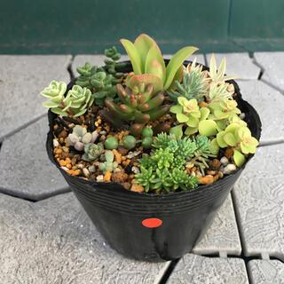 《多肉植物》ちまちまセット(赤)