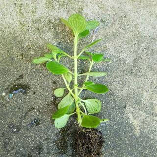 アロマティカス 多肉植物 抜き苗 1苗