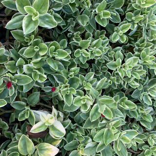 ベビーサンローズ  葉の斑入りカット苗(その他)