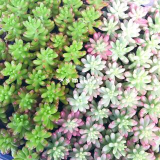 多肉植物 セダム オーロラ 虹の玉 抜き苗