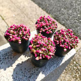 桜吹雪 アナカンプセロス 2号×4個(プランター)