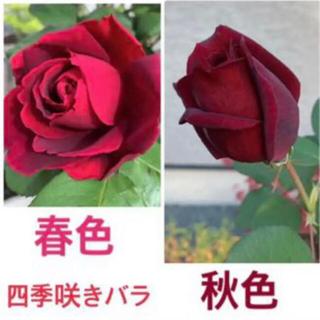 四季咲きバラ苗 1苗