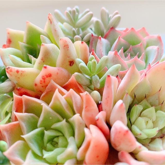 多肉植物 セダム *  斑入りオーロラ 2苗セット 抜き苗 * ハンドメイドのフラワー/ガーデン(その他)の商品写真