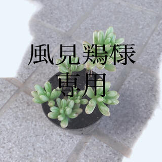 風見鶏様専用多肉植物 セダム オーロラ3ポット(プランター)