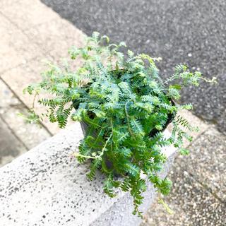 希少 レインボーファン クラマゴケ コンテリクラマゴケ 3号(プランター)