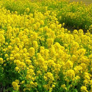 【観ても食べても良し!】菜種☆菜の花 種 たっぷり20g!(6000粒超)(プランター)