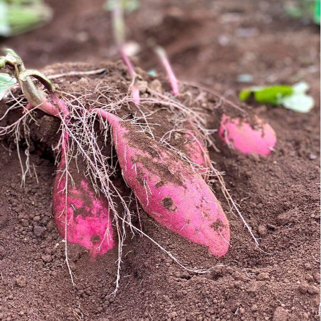 掘りたてシルクスイート土つきツルつき5kg旬の味しっとり優しい甘ささつまいも 食品/飲料/酒の食品(野菜)の商品写真