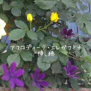 クレマチス【アフロディーテ・エレガフミナ】挿し穂(プランター)