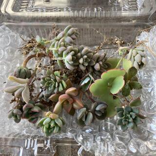 多肉植物 大きめ葉挿し