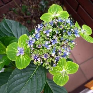 アジサイ 大島緑花 抜き苗