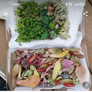 多肉植物 葉挿し・セダム ミックス 梱包込み 100g以上 1500円(その他)