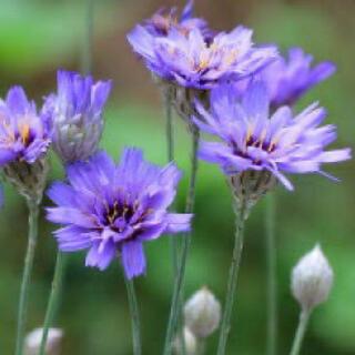 カタナンケ(ルリニガナ) 毎年咲く、青い花♡ブルーガーデンにぴったり♪種子 種 (その他)