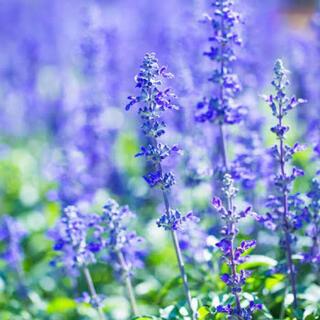 とても香りのよい花 イングリッシュラベンダー コンパクトなタイプ 種子 種 花(その他)