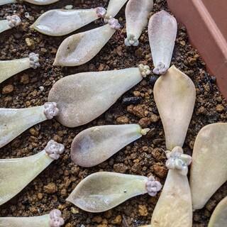 [多肉植物]グラパラリーフ 葉挿し③ 発根済 10枚程度(その他)
