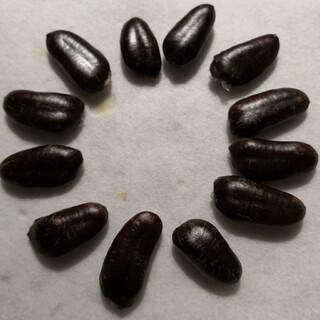 ポポーの種★12個★ウイルソン種(フルーツ)