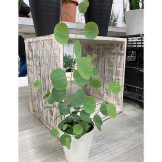 観葉植物 ユーカリ ペロリポポラス 苗