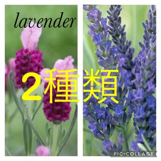 ラベンダー苗 2種類 フレンチラベンダー グロッソ 大きめ苗(その他)