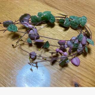 多肉植物 ハートカズラ レディーハート斑入 カット苗(プランター)