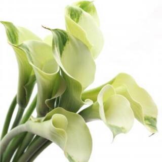 人気♪くるりとまいた白い花弁がとても優雅カラー✣グリーンゴッデス緑の女神一苗球根(プランター)