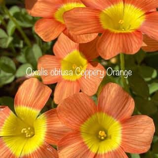 オキザリス Oxalis obtusa Coppery Orange 球根(その他)