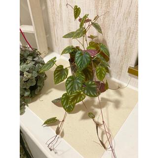 観葉植物 希少品種 シッサスディスカラー    苗(プランター)