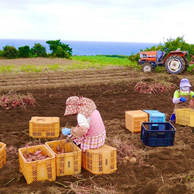 【絶品】種子島産  安納芋プチ 3kg 食品/飲料/酒の食品(野菜)の商品写真