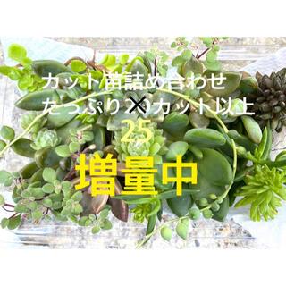 増量中⭐︎ 多肉植物/カット苗/寄せ植え/春萌/七福神/マクドガリー/セダム/