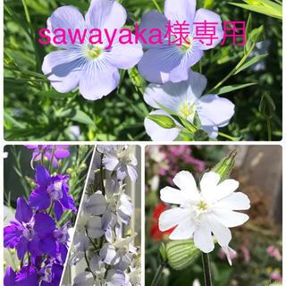 sawayaka様専用 花の種【宿根アマ シレネホワイトキャンピオン 千鳥草】(その他)