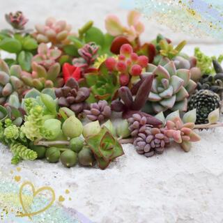 多肉植物 ちまちま寄せ植えにぴったり カラフルなカット苗&抜き苗セット(その他)