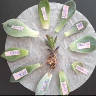 多肉植物 葉挿し 10種類  不死鳥【抜き苗】(その他)