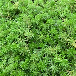 多肉植物  モリムラマンネングサ 根つき苗(プランター)