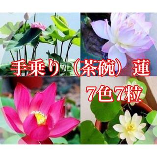 茶碗蓮の種7色7粒(その他)