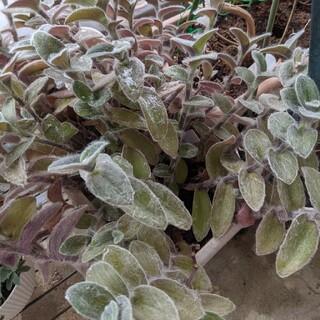多肉植物  白絹姫(その他)