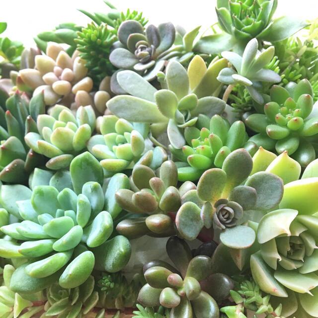 ☆☆ 多肉植物 カット苗セット ☆☆ ハンドメイドのフラワー/ガーデン(プランター)の商品写真