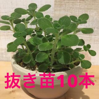 アロマティカス 抜き苗10本(その他)