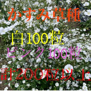 かすみ草種 白100粒+ピンク100粒+α(プランター)