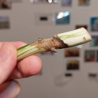 斑入りモンステラ ボルキシアナ カット苗