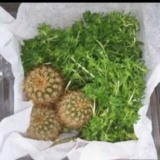 多肉植物 セダム&サボテン(プランター)