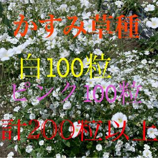 かすみ草種 白100+ピンク100+α 計200粒以上(プランター)