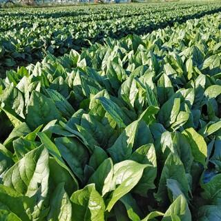 茨城の無農薬ほうれん草1kg(野菜)