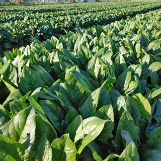 茨城の無農薬ほうれん草6kg(野菜)