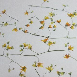 メラスフェルラ(押し花)(ドライフラワー)