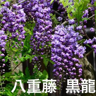 藤苗 八重フジ 黒龍 フジ 庭木 花木(その他)